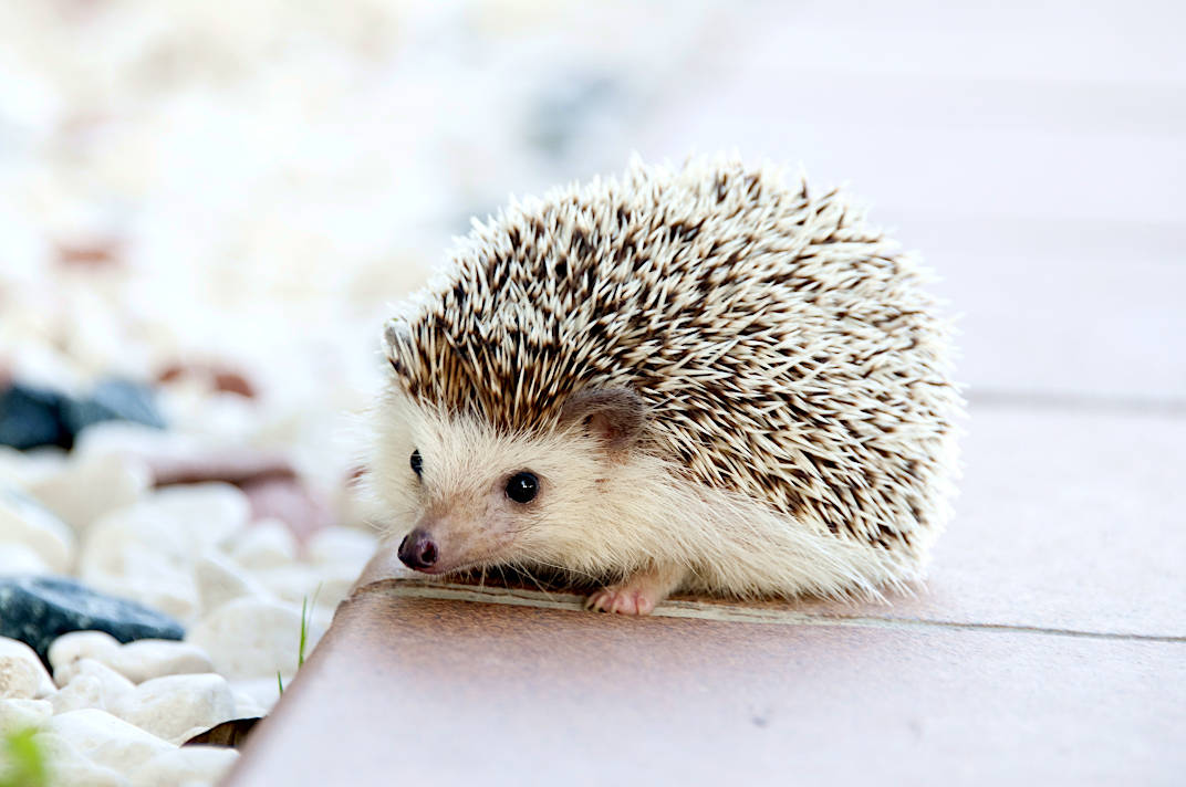 Polish Responsible Hedgehog Owners Association