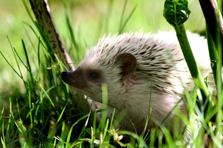 Zasady uzyskania certyfikatu Polish Responsible Hedgehog Owners Association