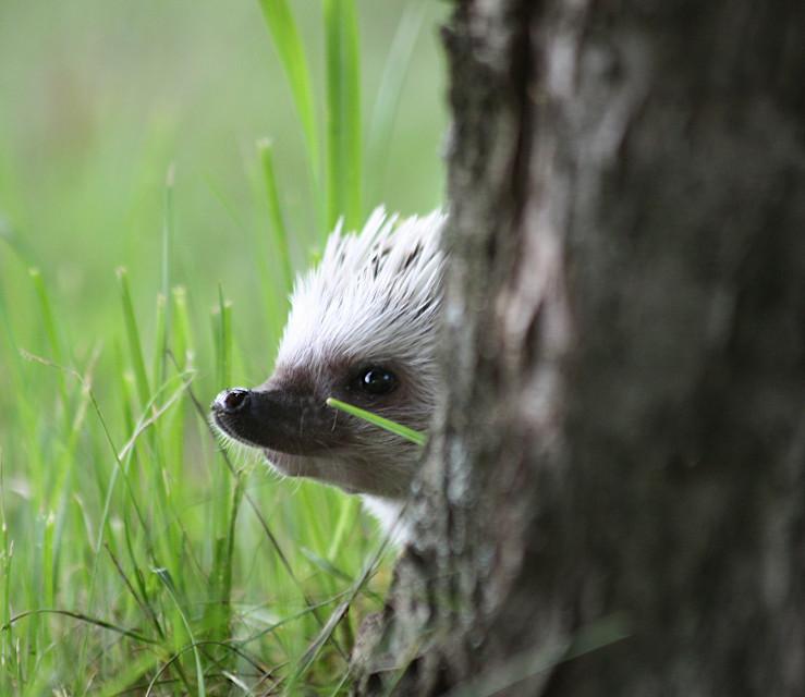 Cele Stowarzyszenia Polish Responsible Hedgehog Owners Association